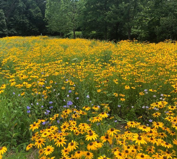 Photo shows Adelphi Field Meadow displaying Black Eyed Susan flowers